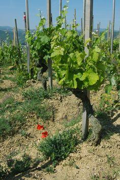 Hermitage, Northern Rhône wine region. France