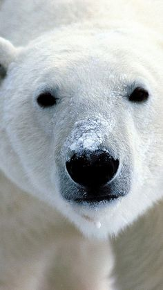 Polar Bear #eyes