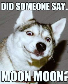 animal pictures cat memes dogs memesfunniest animals - Funny Husky Meme - Funny Husky Quote - oh dont u dare! No animal is left behind! The post animal pictures cat memes dogs memesfunniest animals appeared first on Gag Dad. Husky Humor, Funny Husky Meme, Dog Quotes Funny, Funny Dogs, Funny Memes, Dog Humor, Husky Quotes, Funny Facts, Animal Jokes