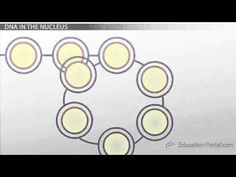 ▶ DNA Packaging and Chromosome Condensation - YouTube