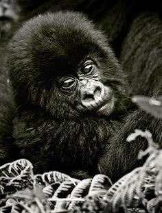 Jeune gorille de montagne, dans le parc national des Volcans, au Rwanda / Source : Communauté photo GEO, © Sébastien Meys