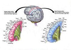 The Sensory and Motor Cortex