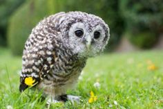 Jack our Chaco owl