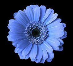 Soft Flower Joy by Johanna Hurmerinta #flowers #gerbera