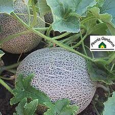 cantaloupe going in my garden