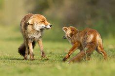 Nederlandse fotografe Roeselien Raimond maakt ode aan de vos - Nieuws - Droomplekken