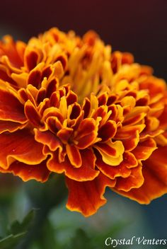 Marigold/October baby~ So strange, I find myself buying one or two plants each year to mix in my pots, I just love the contrast of the gold and orange.  Come to find out it is my Birthflower!