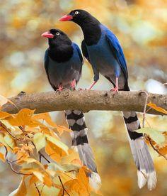 taiwan blue magpie couple -  taipei city, taiwan