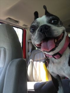 Abby  #bostonterrier#boston#terrier#cute#dog#cutedogs