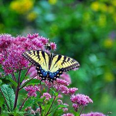 Joe Pye Weed is a native prairie wildflower that is beloved by butterflies