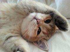 My sweet cat... 14 weeks old british shorthair black golden shaded