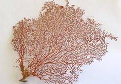 Red Sea Fan 7-10  Echinogorgia SP by seashellmart on Etsy