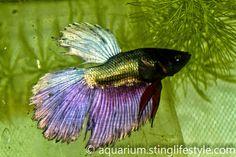 Betta Fish Series – Different Types of Betta Fish