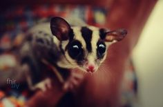 Sugar Glider (fhir Art)