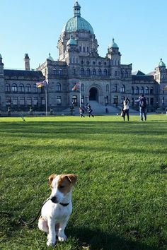 Puppy parliament is now is session in Victoria, BC! Just a little Jack Russell puppy love to brighten your day.
