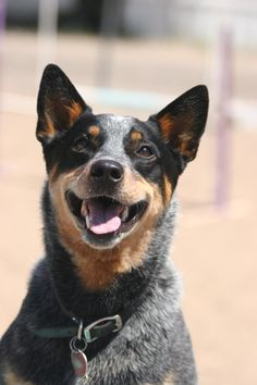 CHLOE - Australian Cattle Dog.  Absolutely beautiful example of a bluey, such a happy grin.
