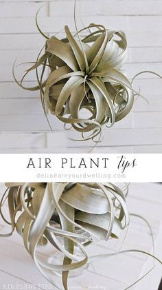 Tips for taking care of your Air Plant so they actually survive and GROW! Love these easy pointers.  Delineateyourdwel...