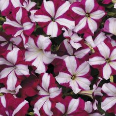 Zoom View for Easy Wave Burgundy Star Petunia Seeds