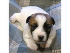 Jack Russell Terrier puppy... cute :)