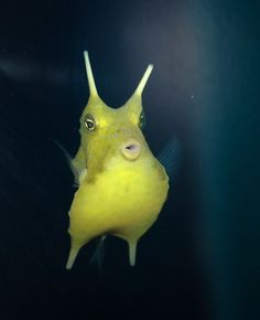 Longhorn Cowfish - I don't know why I love them, but I do.