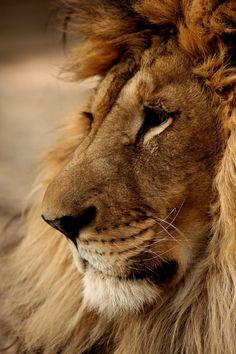 Photo by Michal Prasek Mammals, Lions, Wildlife, Lion