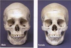 男女の頭蓋骨の違い