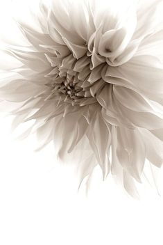 This is a striking image of one of my faves, the Dahlia. - This is a striking image of one of my faves, the Dahlia. Black And White Flowers, Shades Of White, Flower Background Wallpaper, Flower Backgrounds, All Flowers, Beautiful Flowers, Deco Boheme, Deco Floral, White Aesthetic