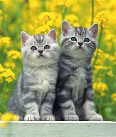 10 American Shorthair Cat Facts