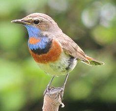 Синьошийка (варакушка) (Luscinia svecica) — дрібний птах родини Мухоловкових. В Україні гніздовий перелітний вид. Самець