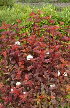 Physocarpus opulifolius 'Diable D'Or- Always good in a mellow planting scheme, with its deep copper foliage and ruby fruit clusters/ The glowing tips of the shoots are particularly vibrant in early summer.