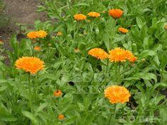 Měsíček lékařský Garden, Plants, Garten, Lawn And Garden, Gardens, Plant, Gardening, Outdoor, Yard