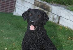 Curly-Coated Retriever - Although the Curly's origins are unclear, he is one of the oldest of all retriever breeds, thought to have descended from the English Water Spaniel, the St. John's Newfoundland, the retrieving setter and the Poodle. Developed in England as both a waterfowl retriever and upland game hunter, this breed was a favorite of English gamekeepers for his innate field ability, courage and perseverance.