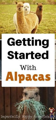 Getting Started with Alpacas and Mystic Pines Alpaca Ranch.