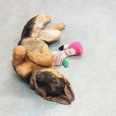 German Shepherd Puppy on the floor with its toy. So sweet