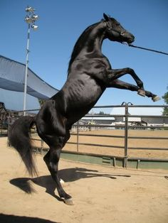 TC Bey Cedar, a black Arabian stallion who played Al Hattal in Hidalgo. I met him in person and he was a very sweet, calm horse!