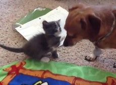 Vídeo - Gato e cachorro ficam amigos! que amor! clique na foto para ver.