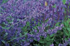 Catmint ~ Zones 3 to 8 A bee favorite. Look for well-behaved varieties that do not reseed and take over the garden. You and the bees will be rewarded with blue flowers that top silvery foliage all season long.