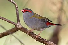 Red browed finch02.jpg