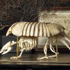Objet de Curiosite -- Armadillo skeleton and armor