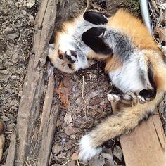 #fox #petfox #redfox
