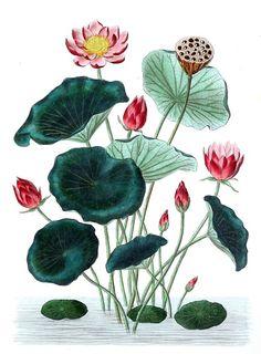 Indian Lotus (Nelumbo nucifera), from Flore médicale usuelle et  industrielle du XIXe siècle 57def9910c3