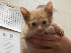 Sonya - URGENT - PIKE COUNTY ANIMAL SHELTER in Pikeville, Kentucky - ADOPT OR FOSTER - Female KITTEN Domestic SH Mix