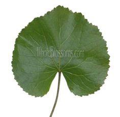 Wholesale Galax Green Flower Filler | Buy Galax Filler & Greens for Flower Arrangements