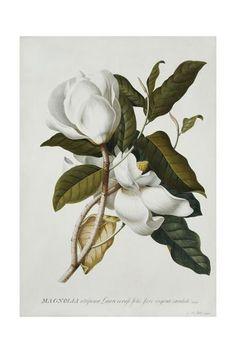 Magnolia Giclee Print by Georg Dionysius Ehret at Art.com