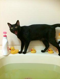 """Three duckies?? I am STILL NOT agreeing to a bath!"" - cute black cat"
