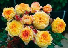 http://www.roses-guillot.com/blog/les-20-meilleurs-rosiers-preferes-des-jardiniers/