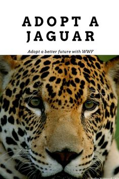 The biggest threat to the jaguars right now is the destruction of their habitat. 70% of jaguars live in the Amazon. Cute Animal Photos, Funny Animal Pictures, Funny Animals, Beautiful Cats, Animals Beautiful, Jaguar Habitat, Whatsapp Wallpaper, Animal Antics, Cute Dogs And Puppies