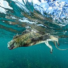 Photograph by @thomaspeschak After two hours of grazing on algae in the cold waters of the western Galápagos, this marine iguana is dangerously close to becoming too cold to fight waves and currents. The animal needs to reach the shore quickly so it can reheat its body using the sun's warmth radiating from the black lava rock. Shot on assignment for @natgeo magazine in collaboration with #galapagosnationalpark and @darwinfound For more photographs of these Godzilla lookalikes you can follow…