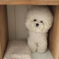 See this Instagram video by @bichon_tori • 5,688 likes