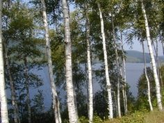 River Birch Tree - bare root 4-5 ft $9.50 from plantsinthemail.com